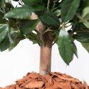 Kunstpflanze LISA Kirschlorbeer Pyramide 120